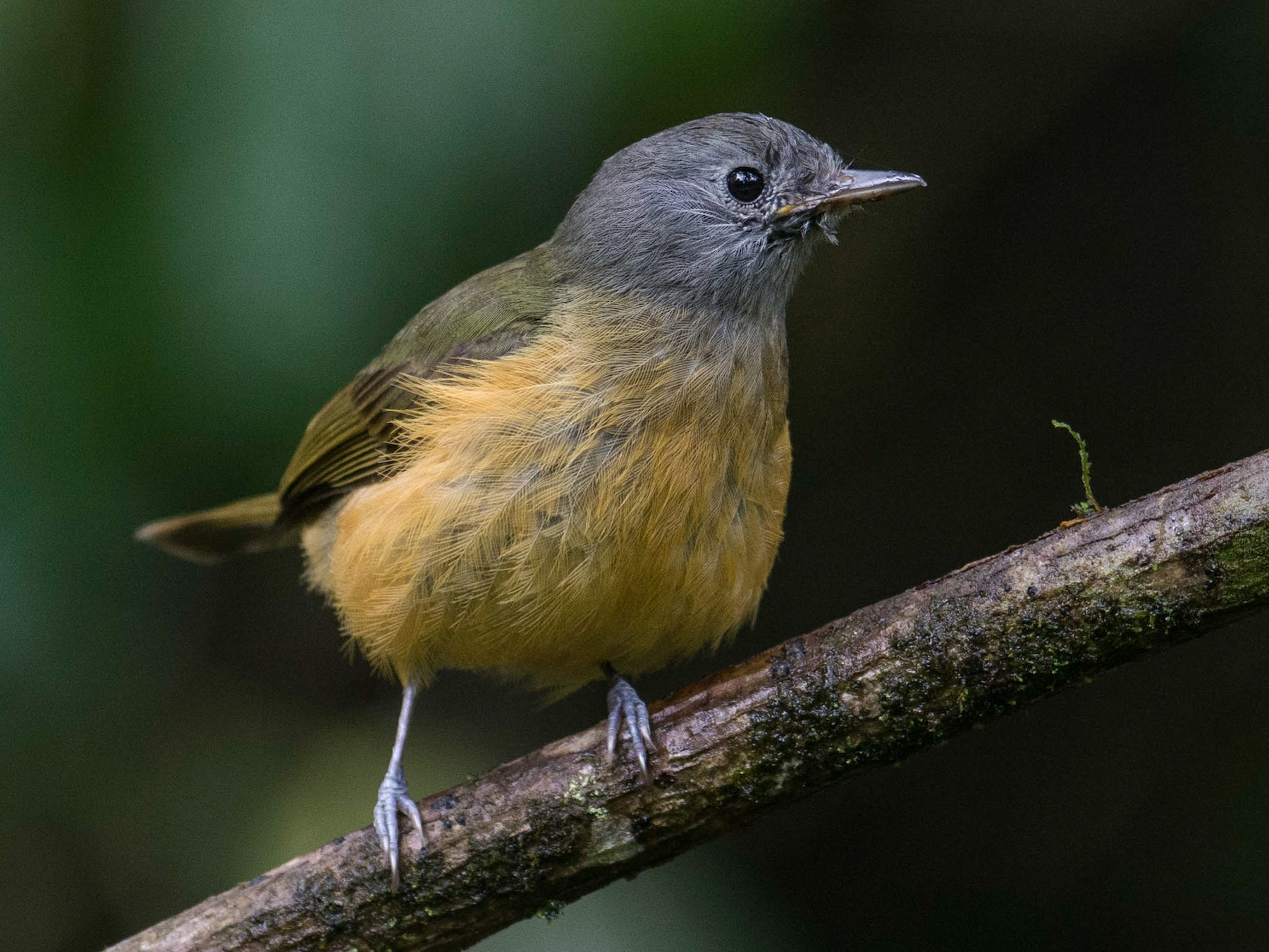 Gray-hooded Flycatcher - Hudson - BirdsRio