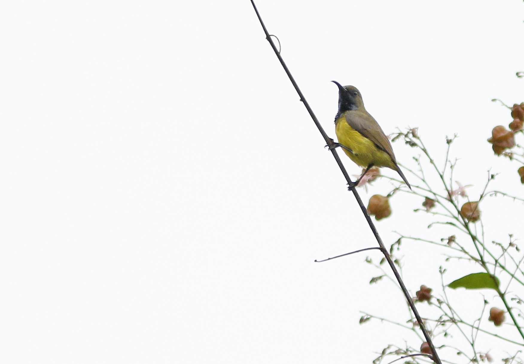 Apricot-breasted Sunbird - David Beadle