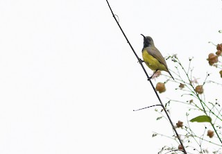 - Apricot-breasted Sunbird