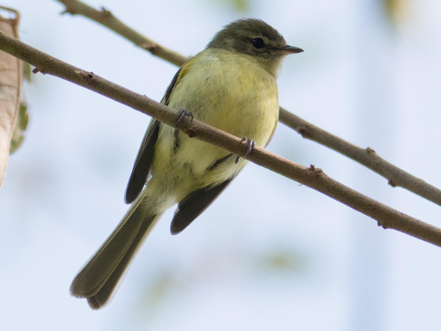 Greenish Tyrannulet - Hudson - BirdsRio