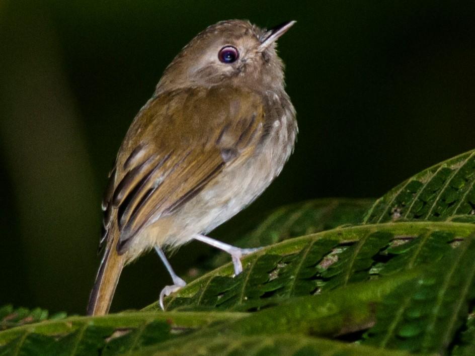 Brown-breasted Pygmy-Tyrant - Claudia Brasileiro