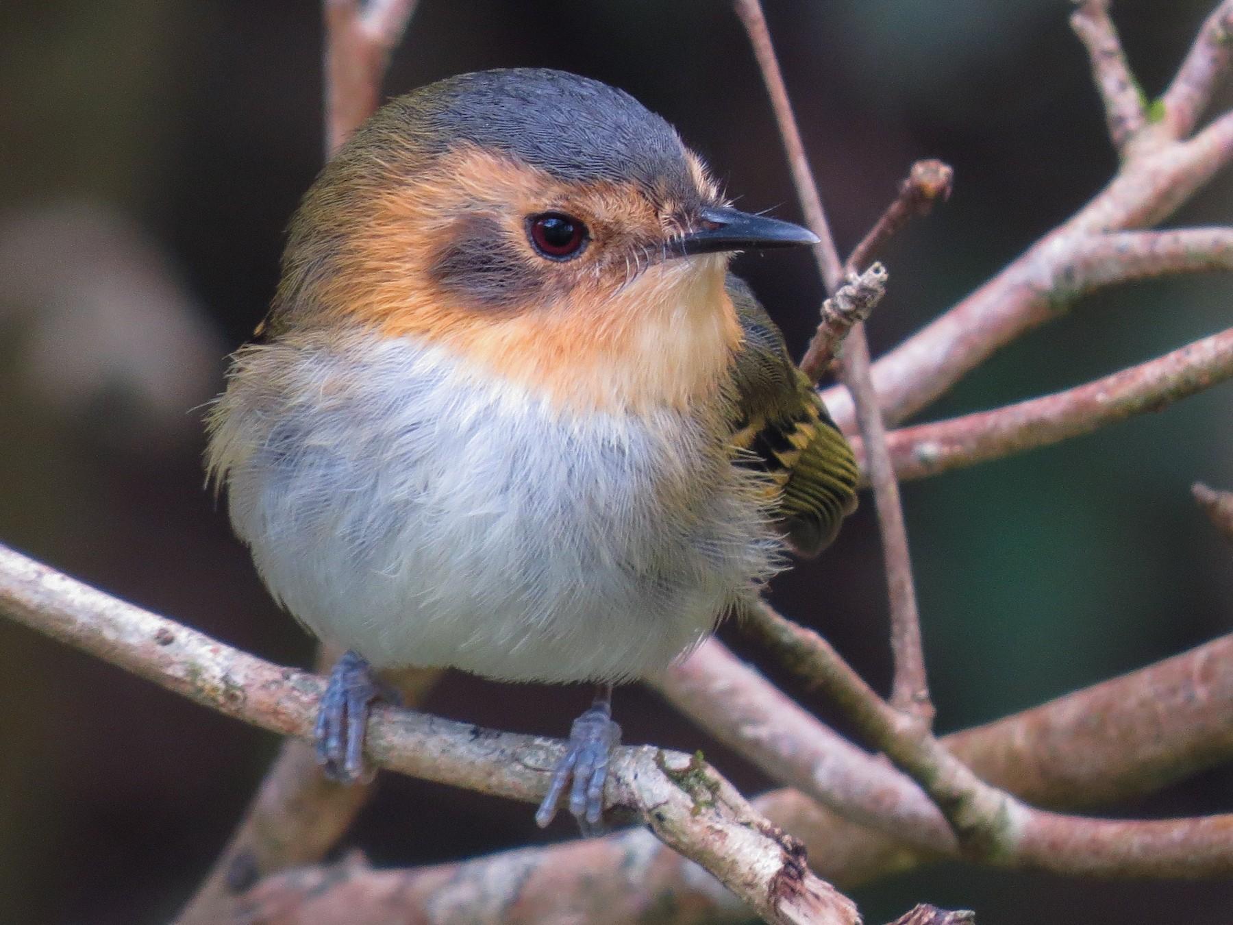 Ochre-faced Tody-Flycatcher - Raphael Kurz -  Aves do Sul