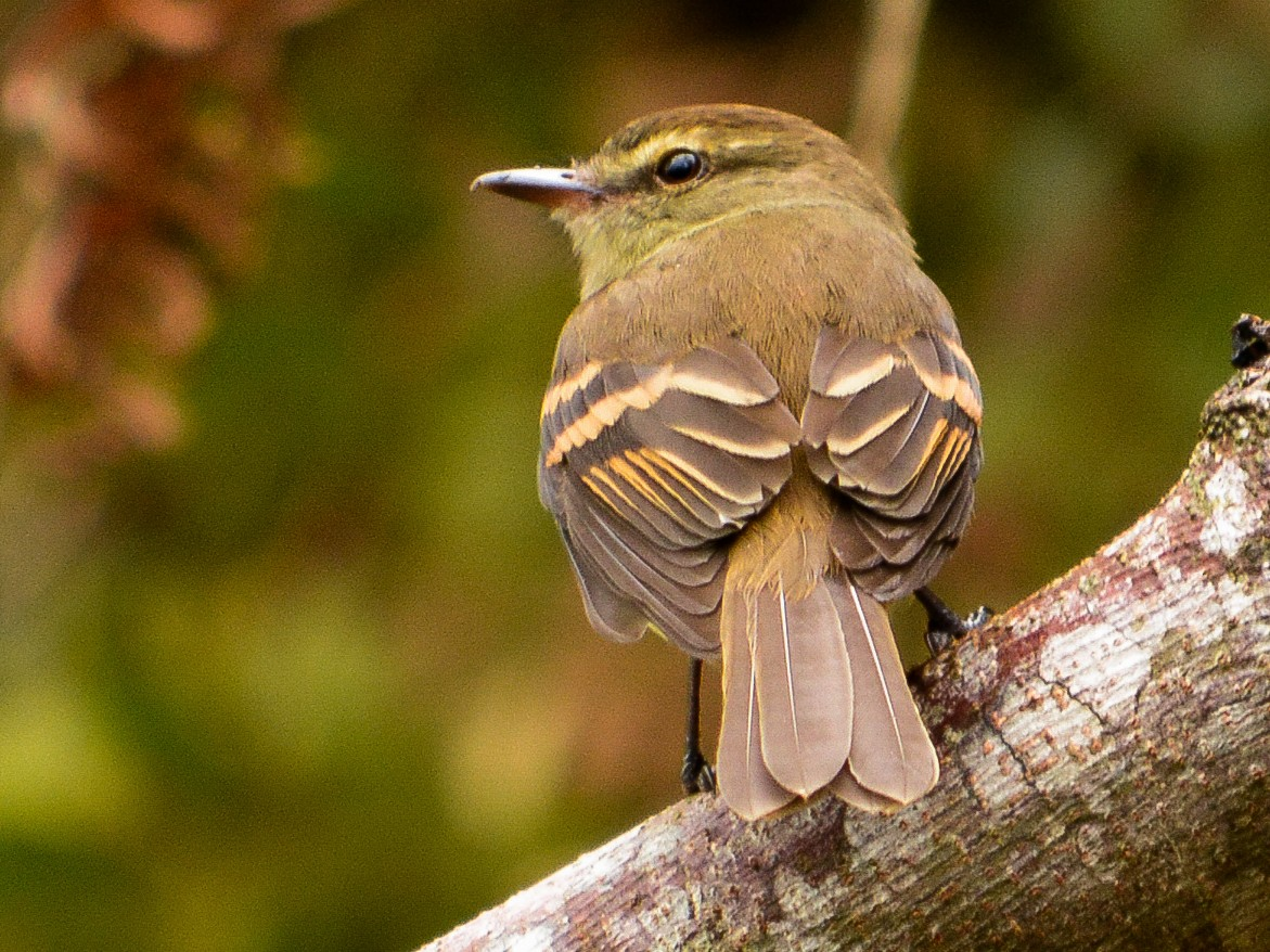 Fuscous Flycatcher - João Gava Just