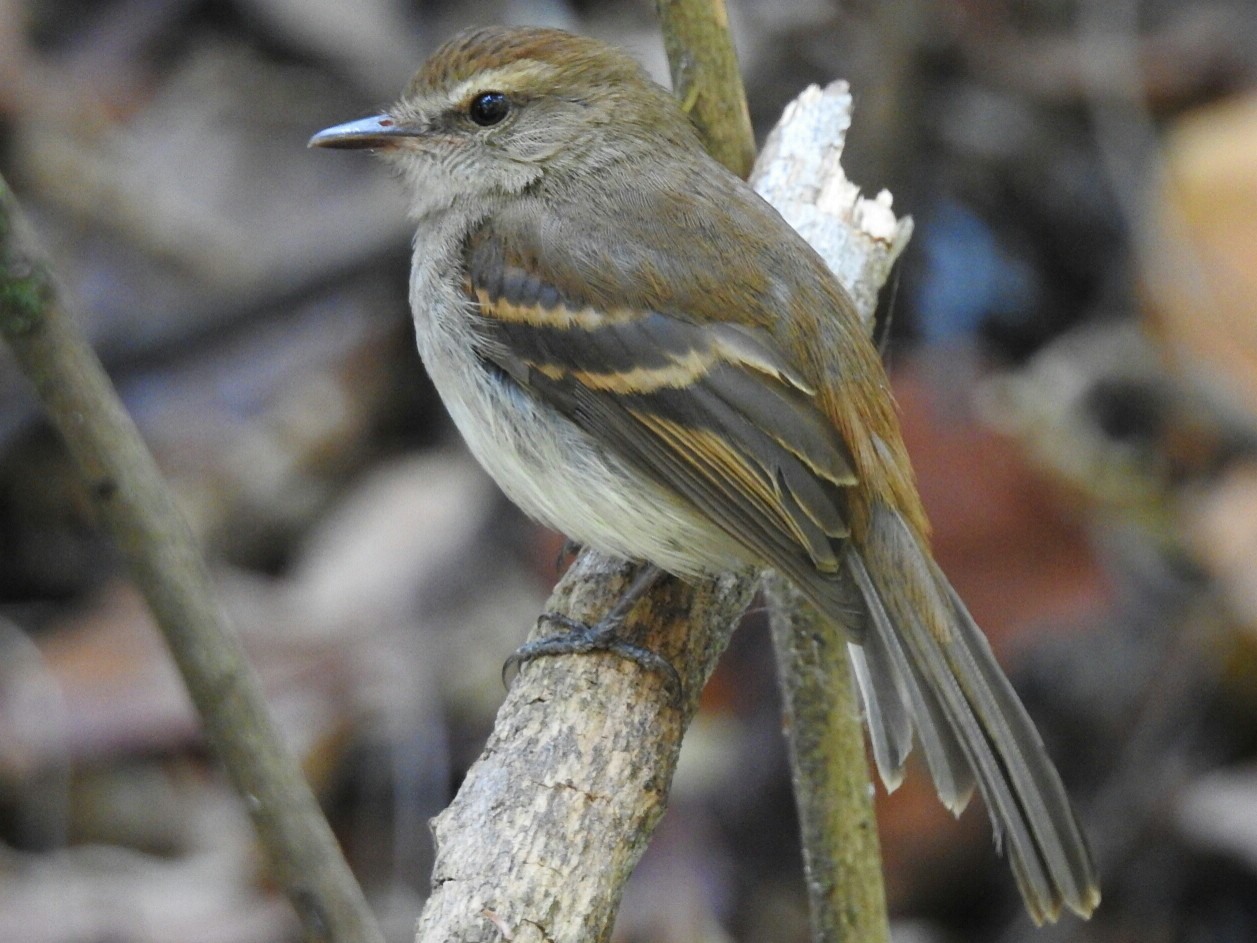Fuscous Flycatcher - Spencer Follett