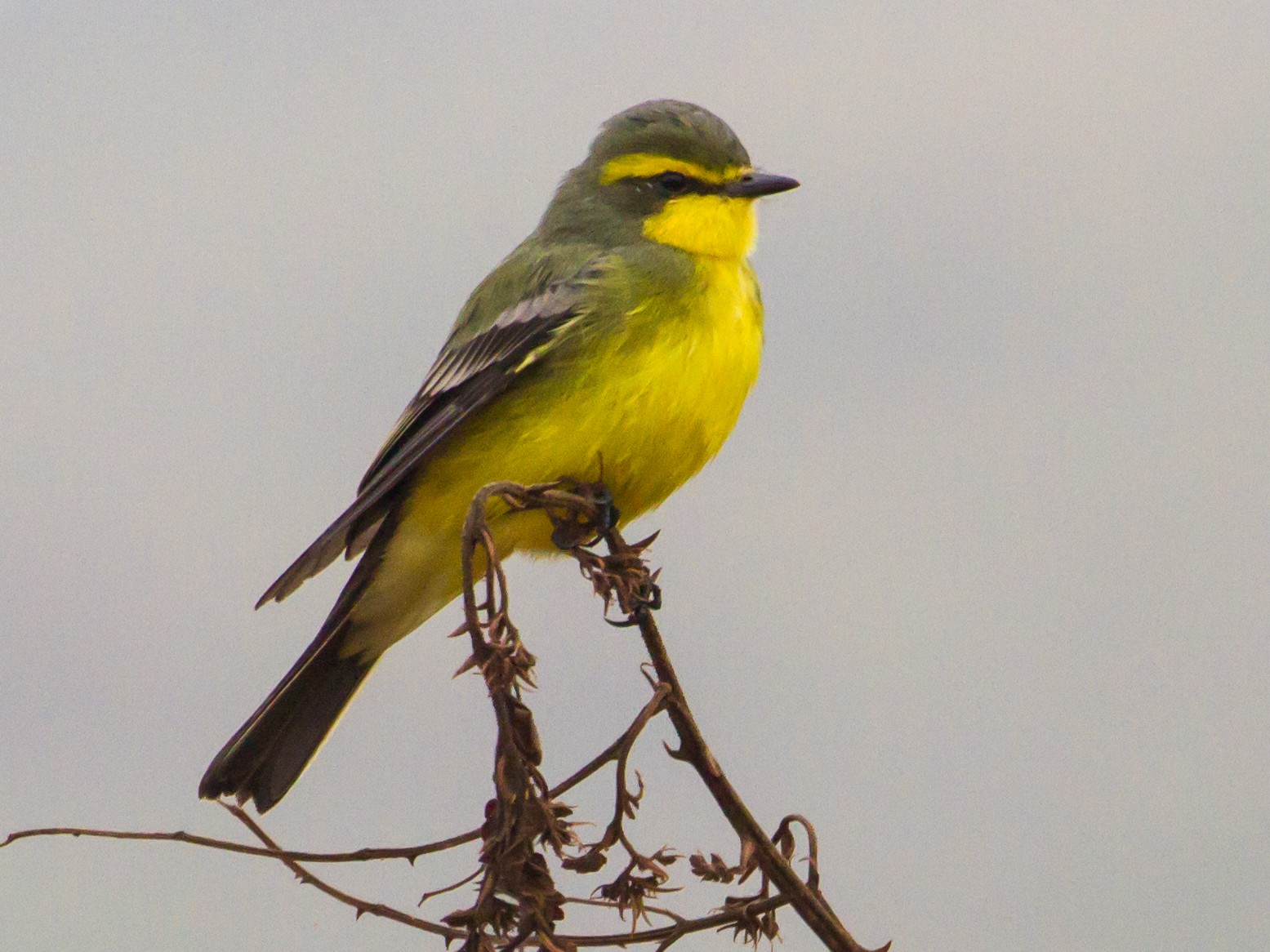 Yellow-browed Tyrant - Zé Edu Camargo