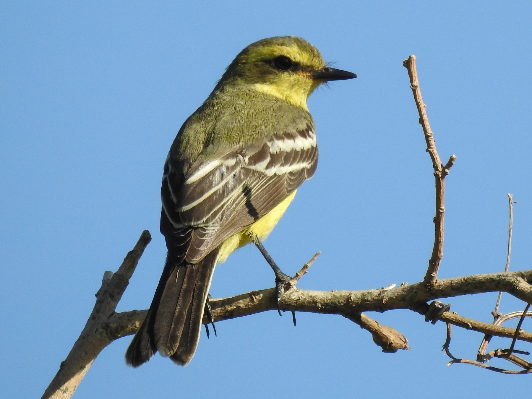 Yellow-browed Tyrant - Viviana Giqueaux