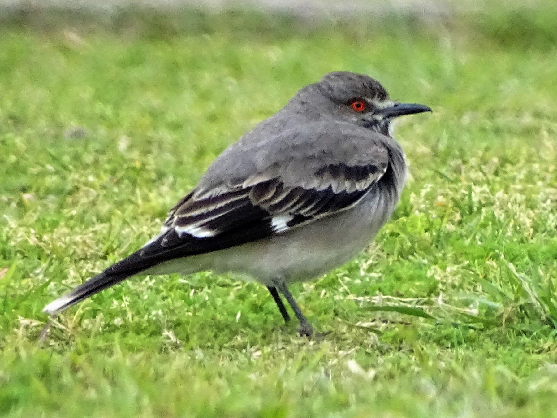Gray Monjita - ADRIAN GRILLI