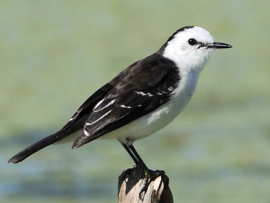 Black-backed Water-Tyrant - J. Simón Tagtachian