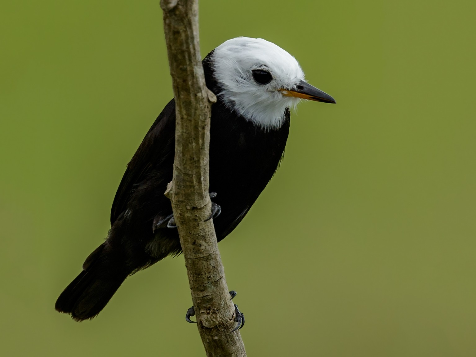 White-headed Marsh Tyrant - Kacau Oliveira