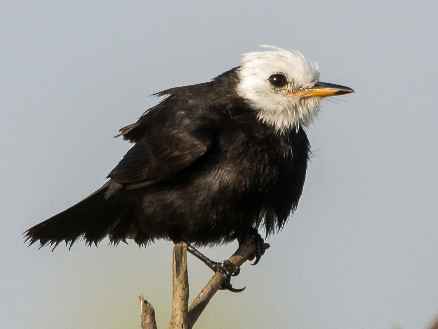 White-headed Marsh Tyrant - Jerome Foster