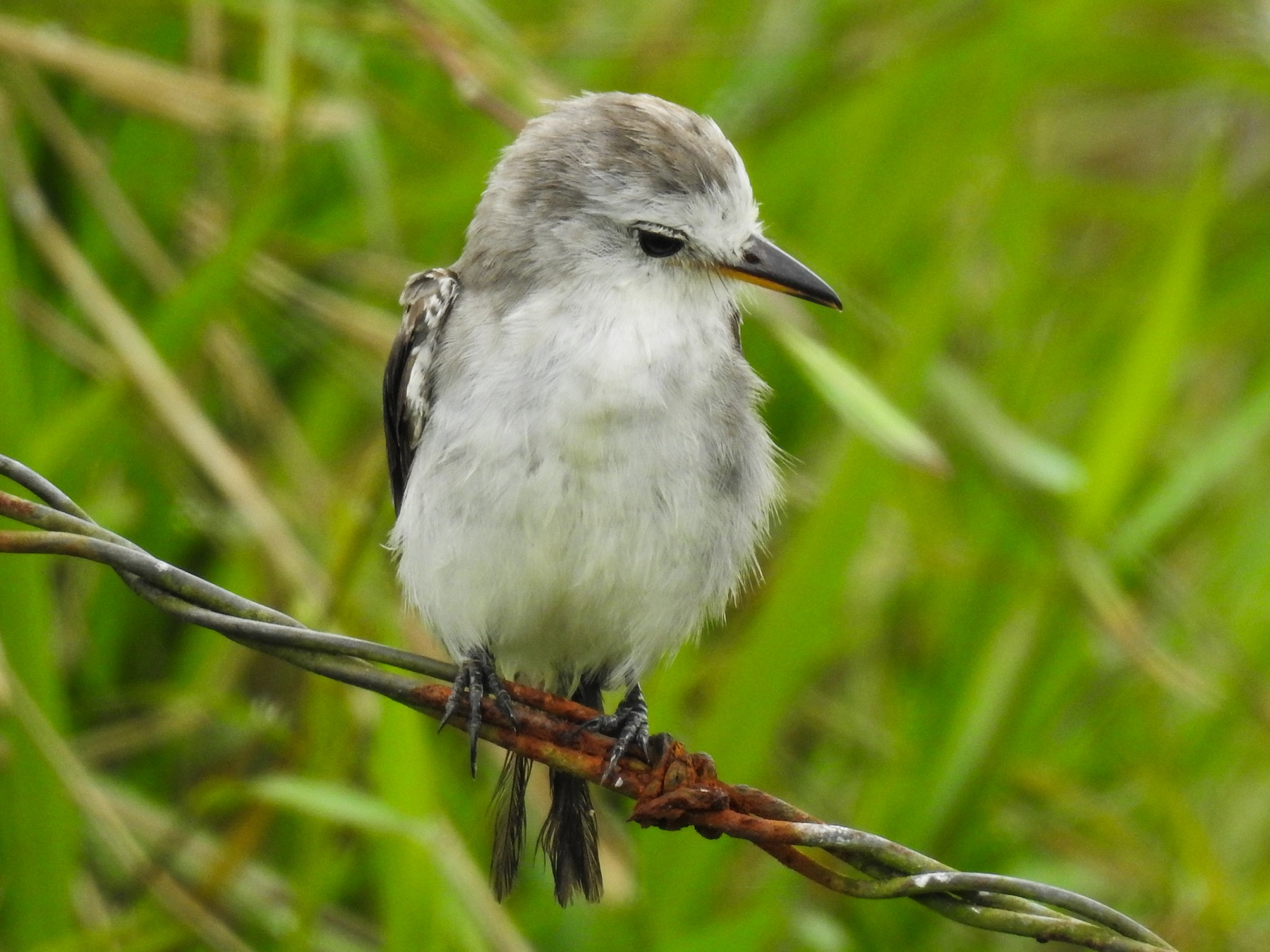 White-headed Marsh Tyrant - Pam Rasmussen
