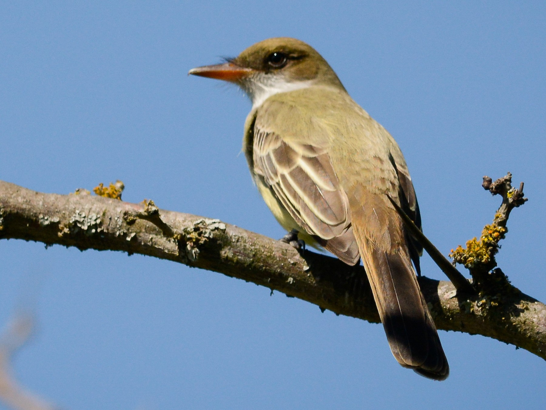 Swainson's Flycatcher - Pablo Brandolin