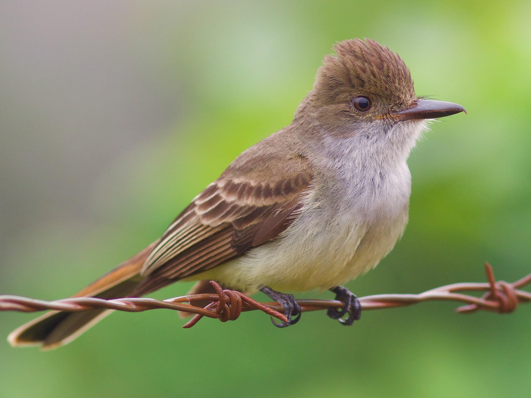 Swainson's Flycatcher - Luiz Matos