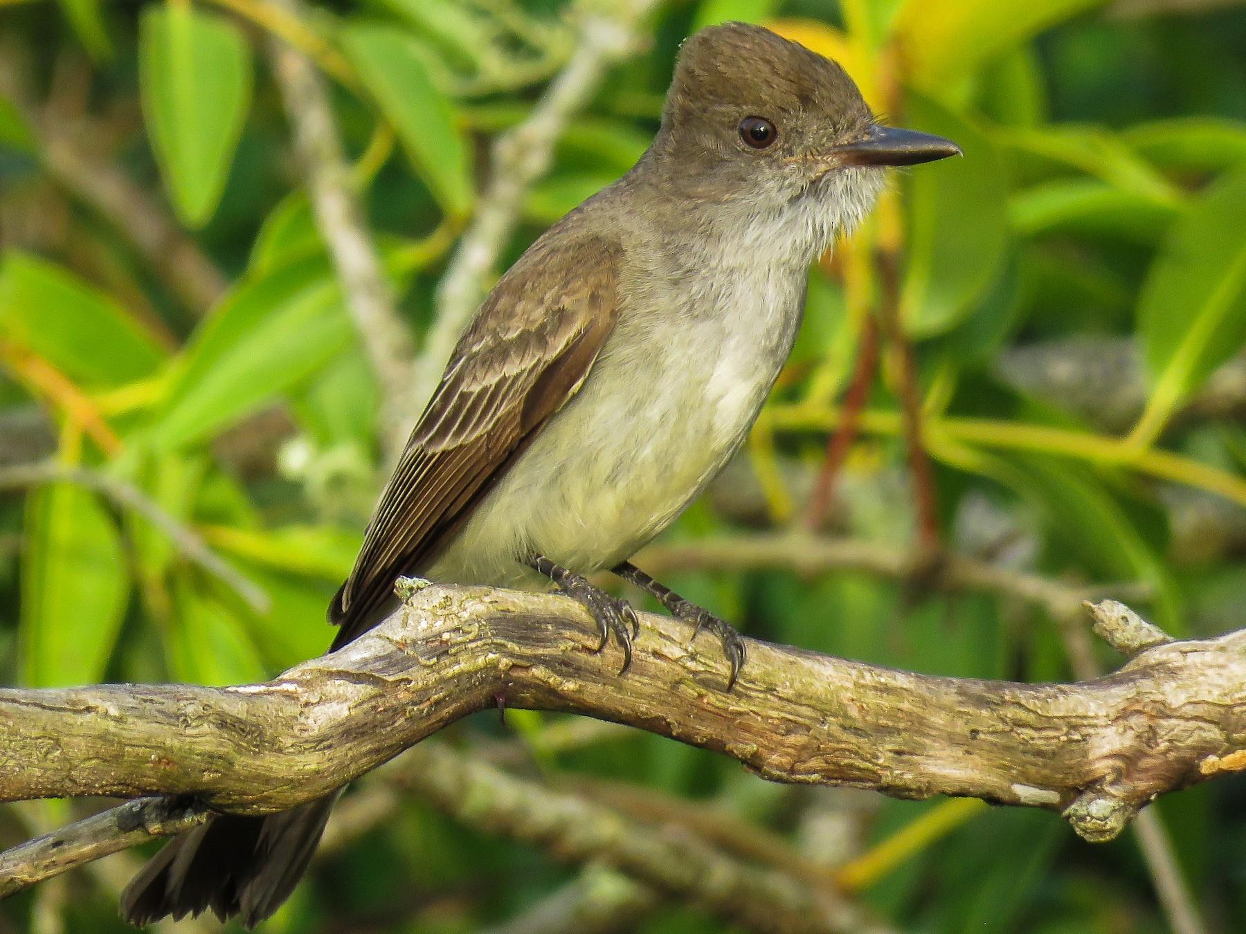 Swainson's Flycatcher - Raphael Kurz -  Aves do Sul