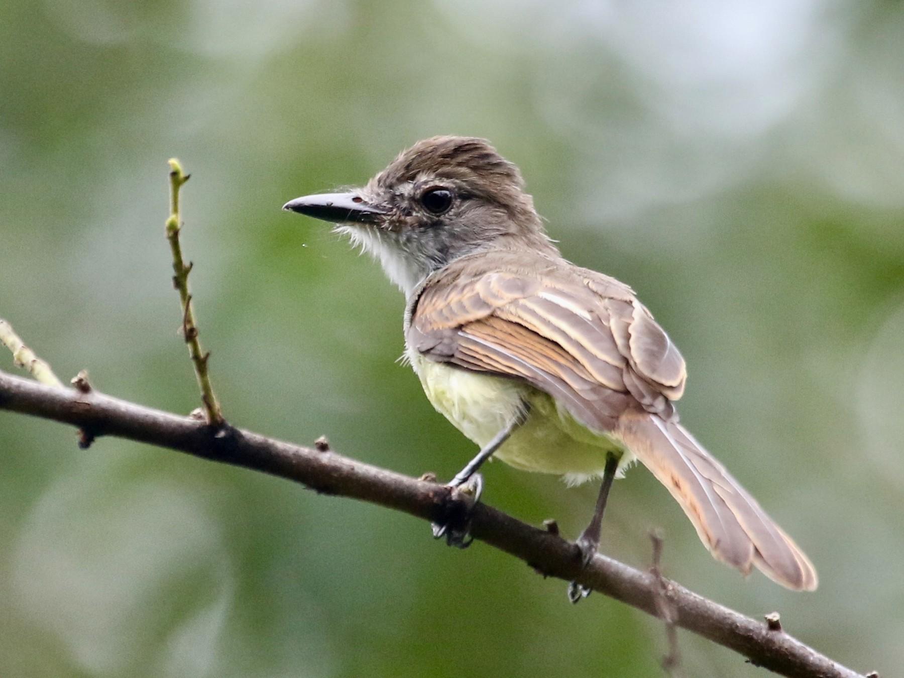 Short-crested Flycatcher - Eric Heisey