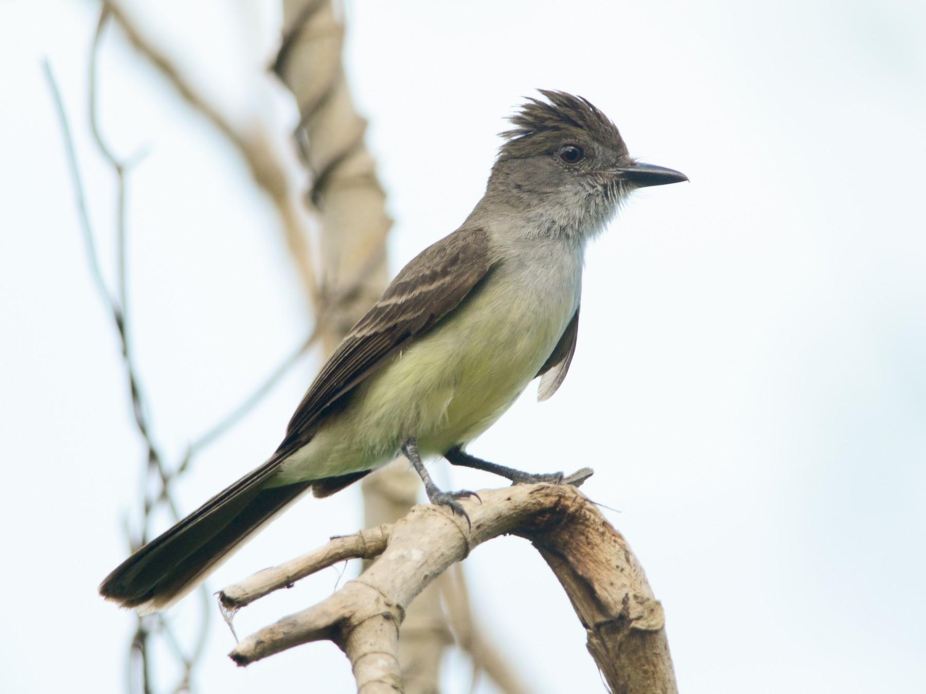 Short-crested Flycatcher - Luiz Moschini