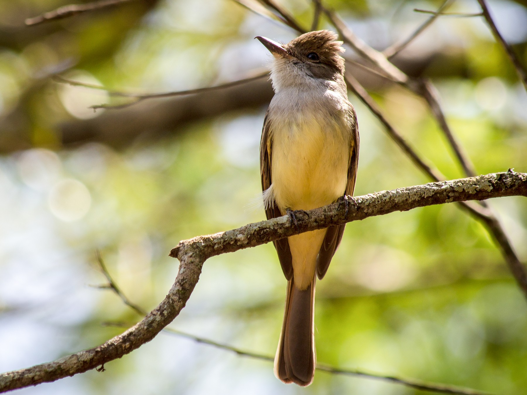 Short-crested Flycatcher - André  Zambolli