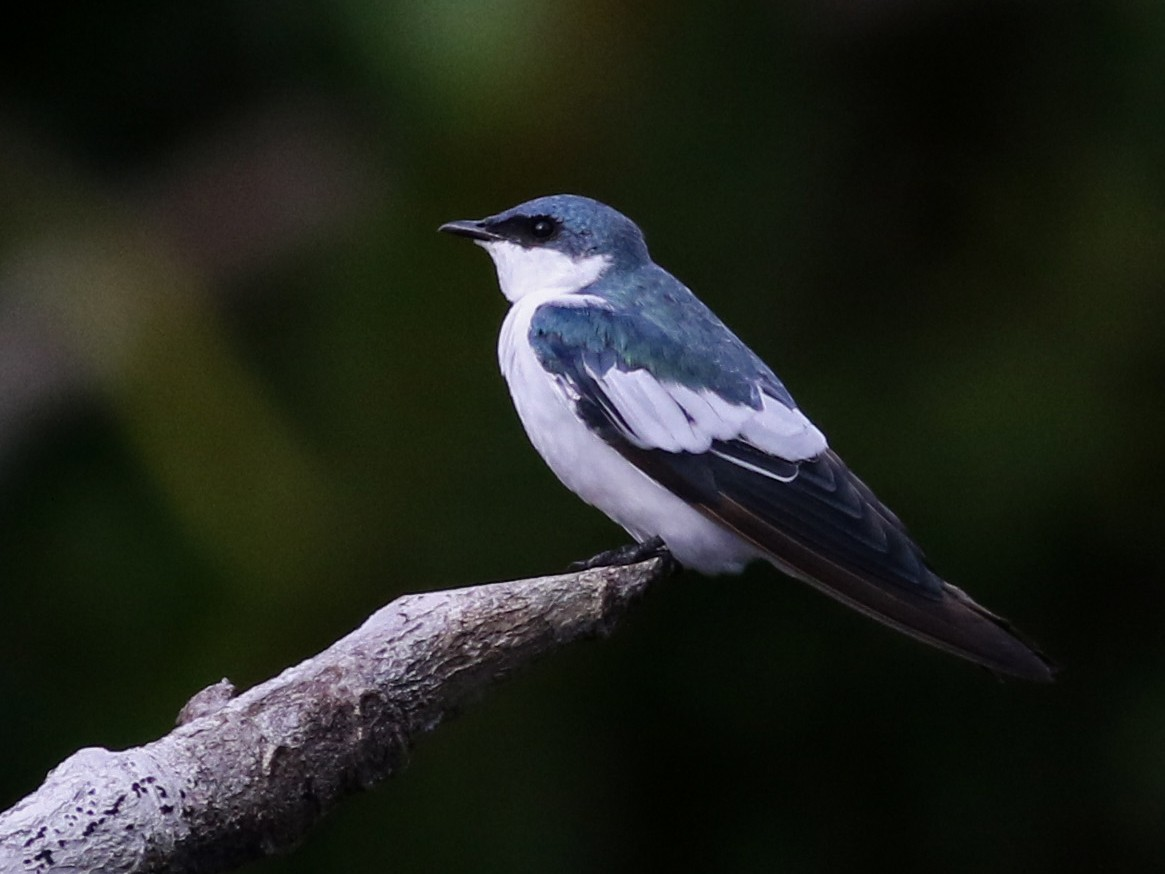White-winged Swallow - Jay McGowan