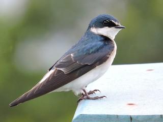 - White-rumped Swallow