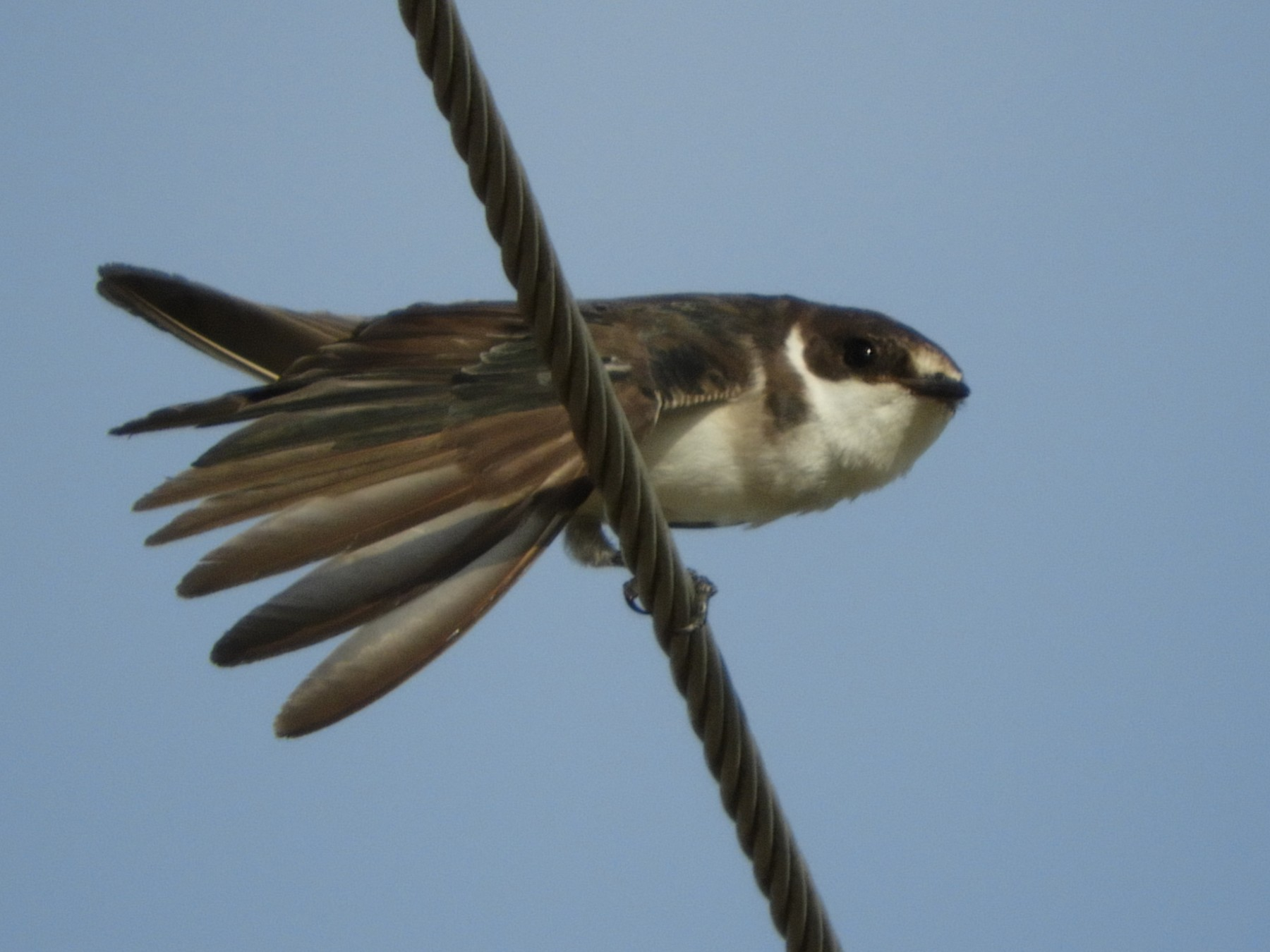 White-rumped Swallow - Silvia Enggist