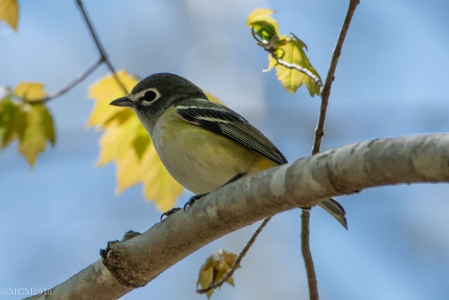 © Mary Catherine Miguez - Blue-headed Vireo