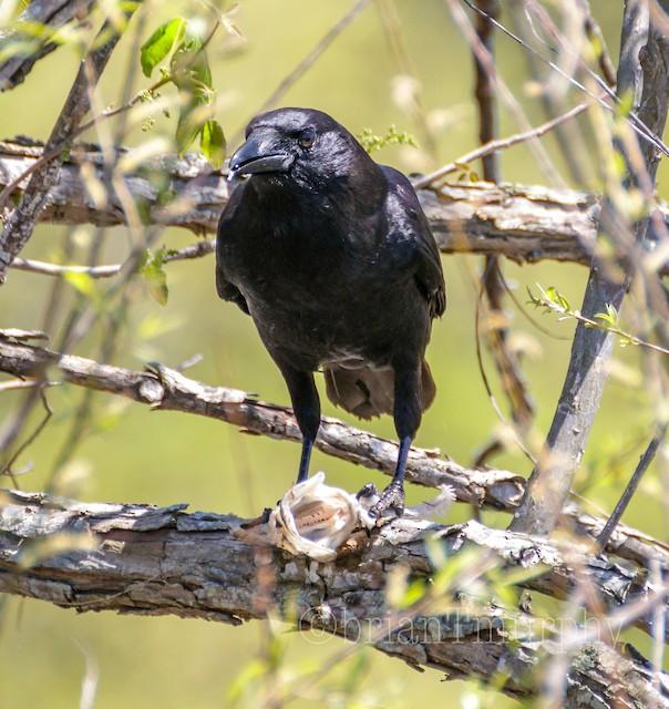 ©Brian Murphy - Fish Crow