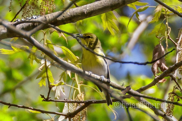 © Brian Murphy - Yellow-throated Vireo