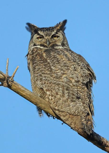 ©Matt Davis - Great Horned Owl