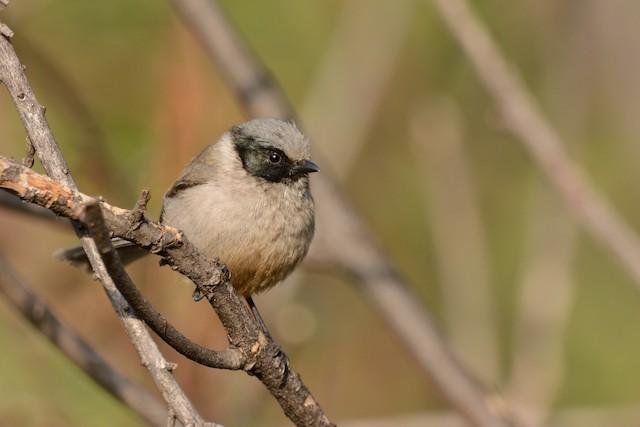 Bushtit (melanotis Group)
