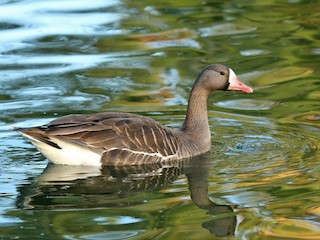 Greater White-fronted Goose, ML95801821