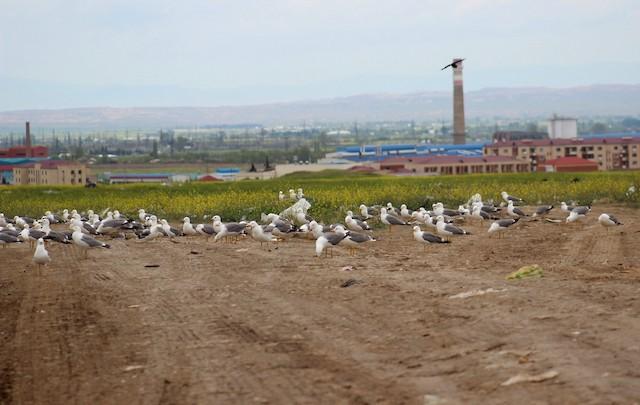 Armenian Gull