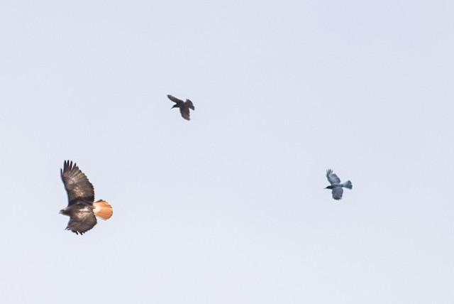 Pinyon Jays mobbing Red-tailed Hawk.