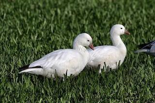 Ross's Goose, ML95940231