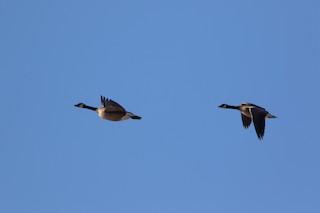 Canada Goose, ML96035161