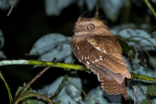 - Philippine Frogmouth