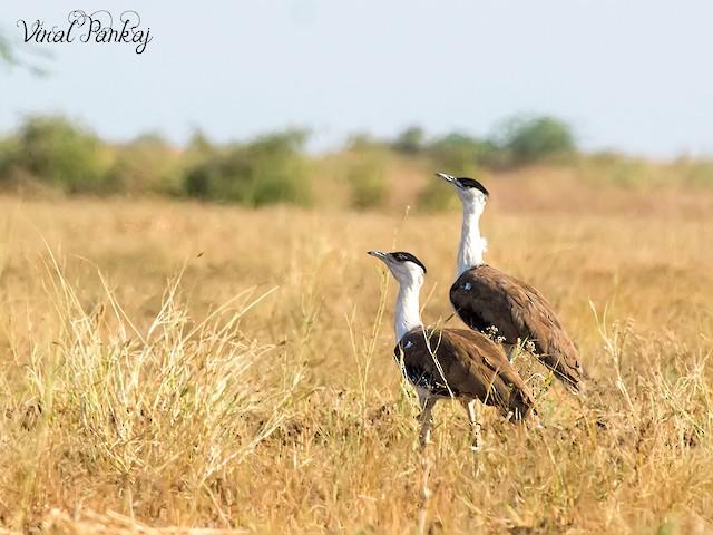 ©Viral  Pankaj - Great Indian Bustard