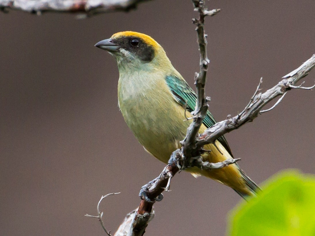Burnished-buff Tanager - Cullen Hanks