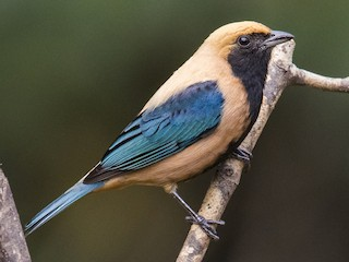 - Burnished-buff Tanager
