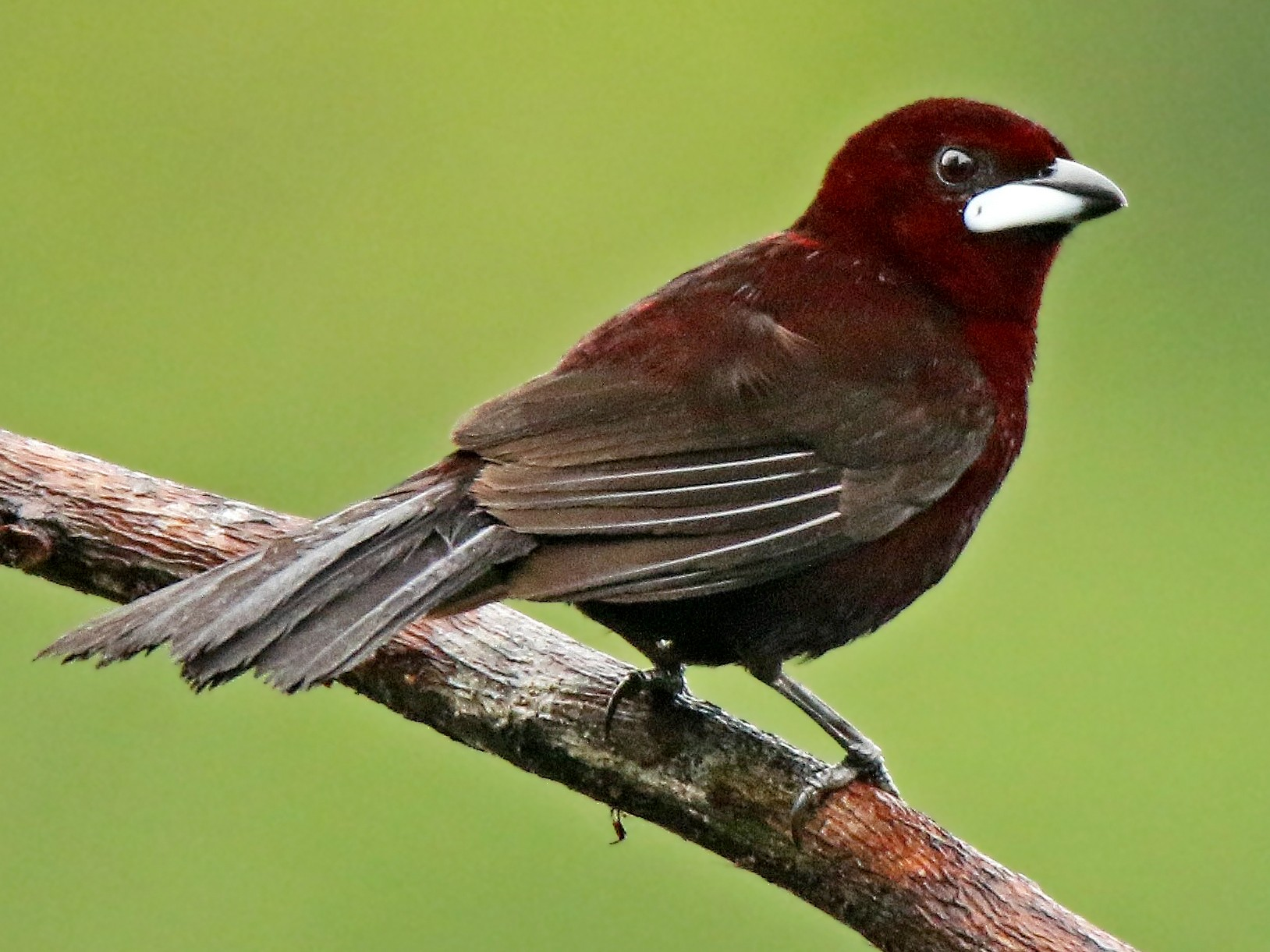 Silver-beaked Tanager - Roger Ahlman