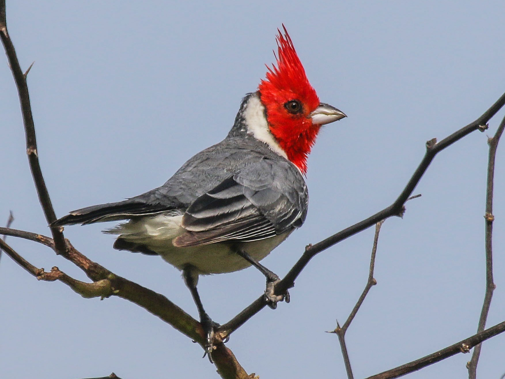 Red-crested Cardinal - Gale VerHague    𓅪