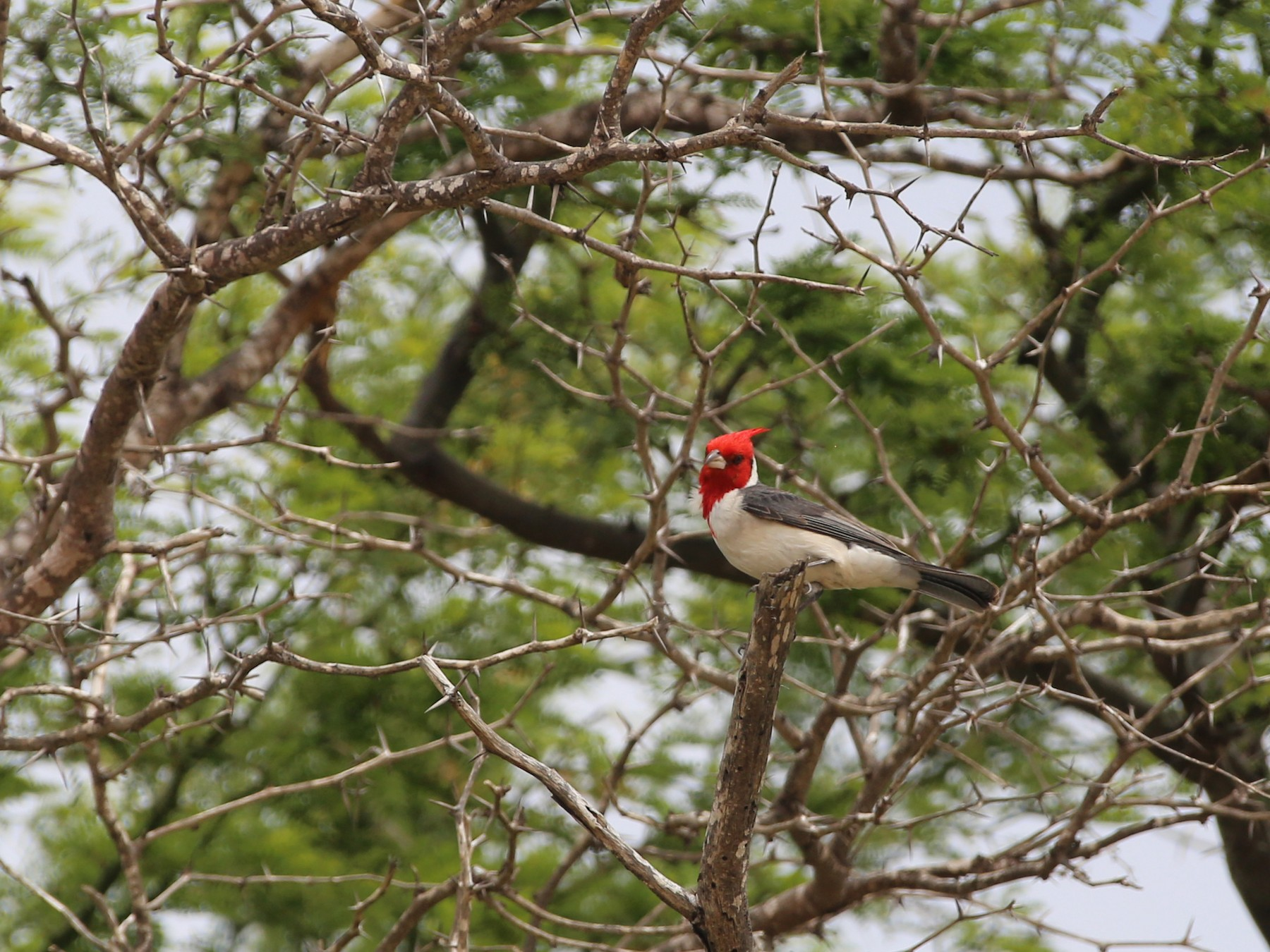 Red-crested Cardinal - burton balkind
