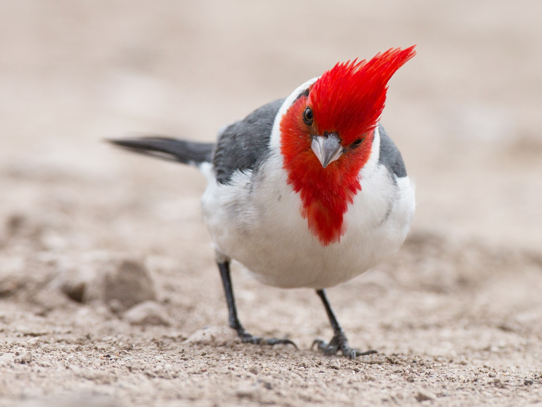 Red-crested Cardinal - Chris Wood