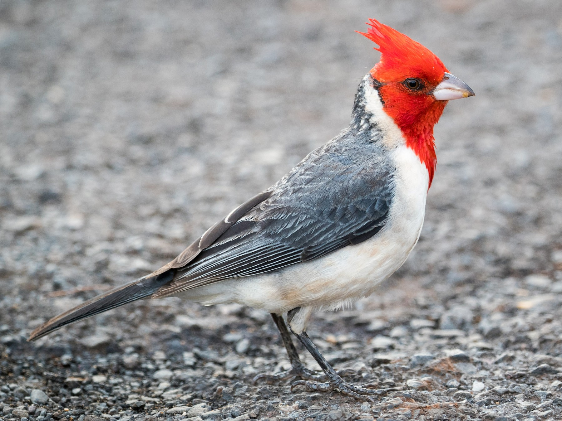 Red-crested Cardinal - Ryan Sanderson