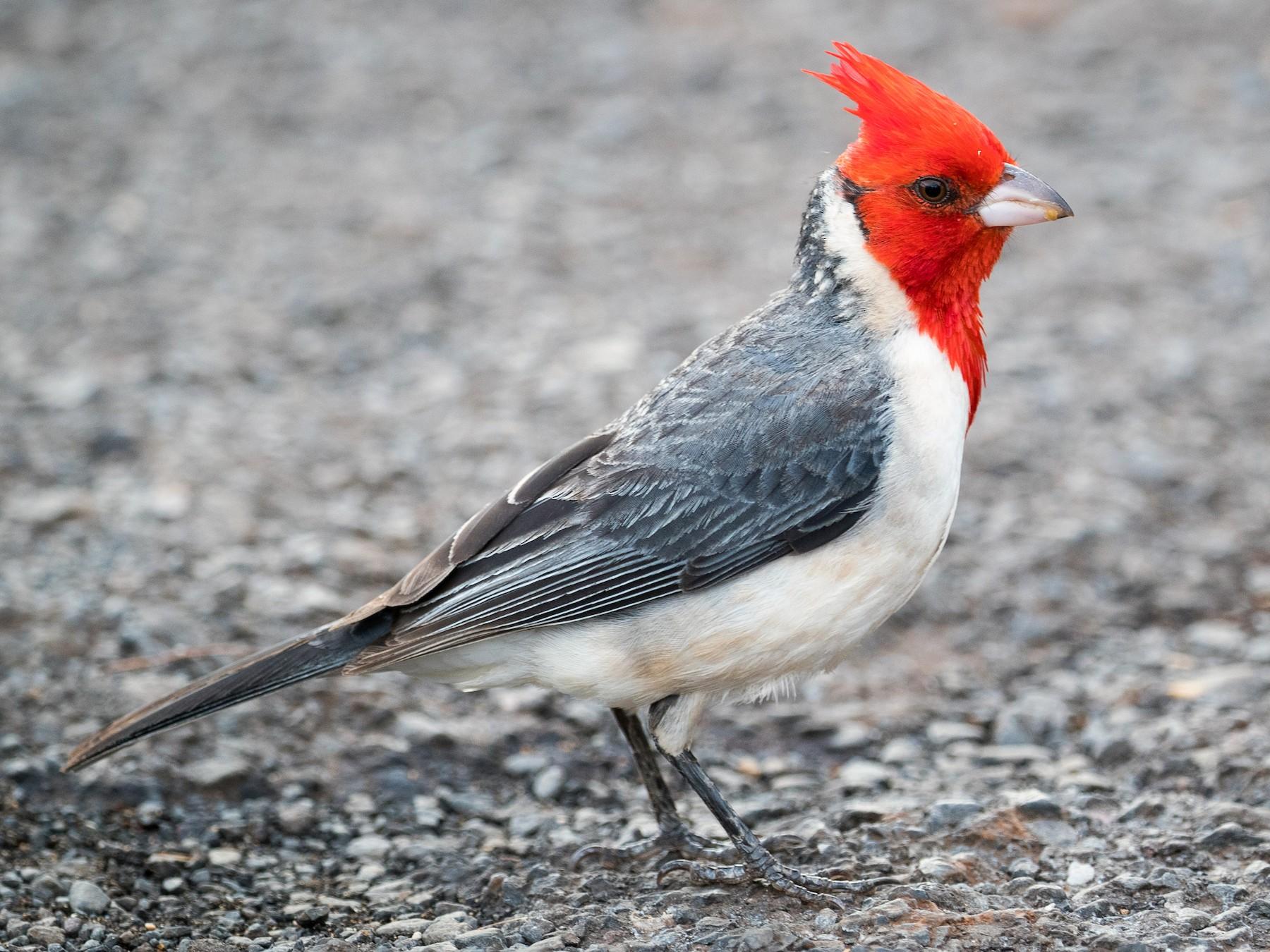 Red-crested Cardinal - Ryan Sanderson