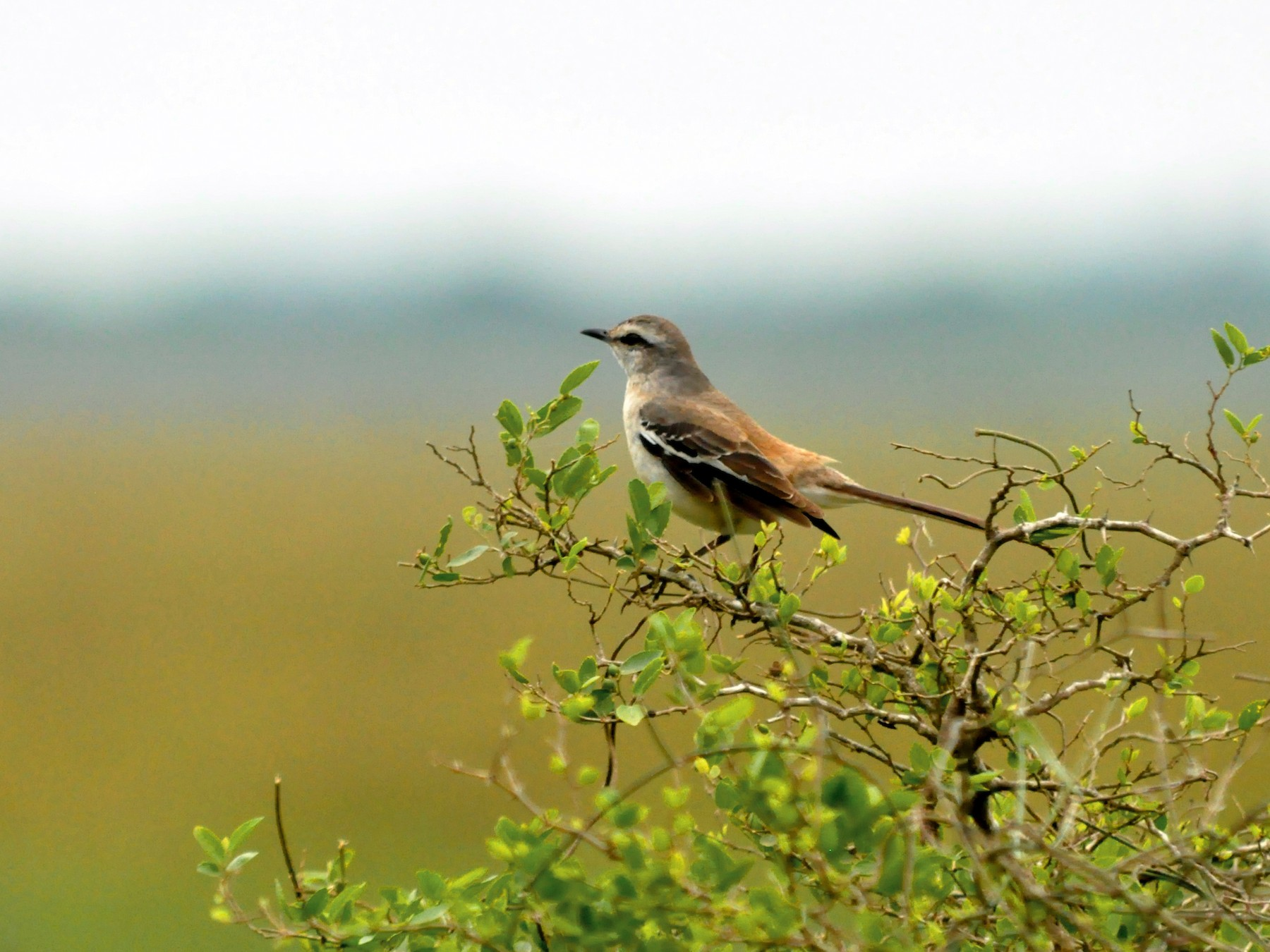 White-banded Mockingbird - Fermin Zorrilla