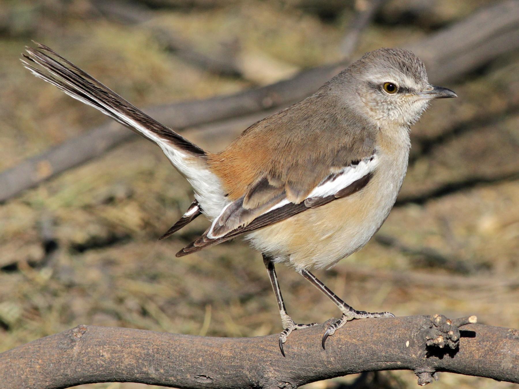 White-banded Mockingbird - Ian Davies