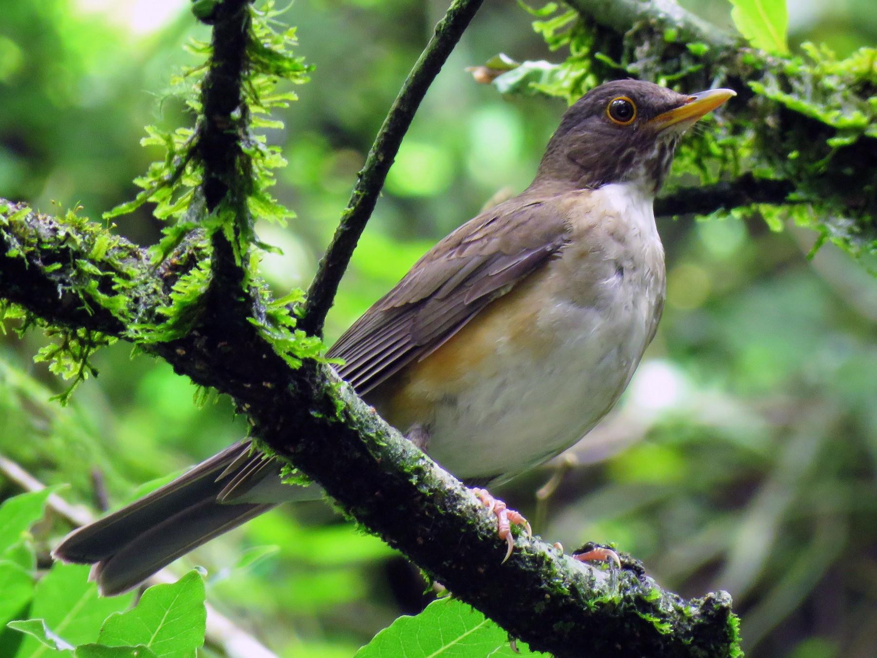 White-necked Thrush - Raphael Kurz -  Aves do Sul