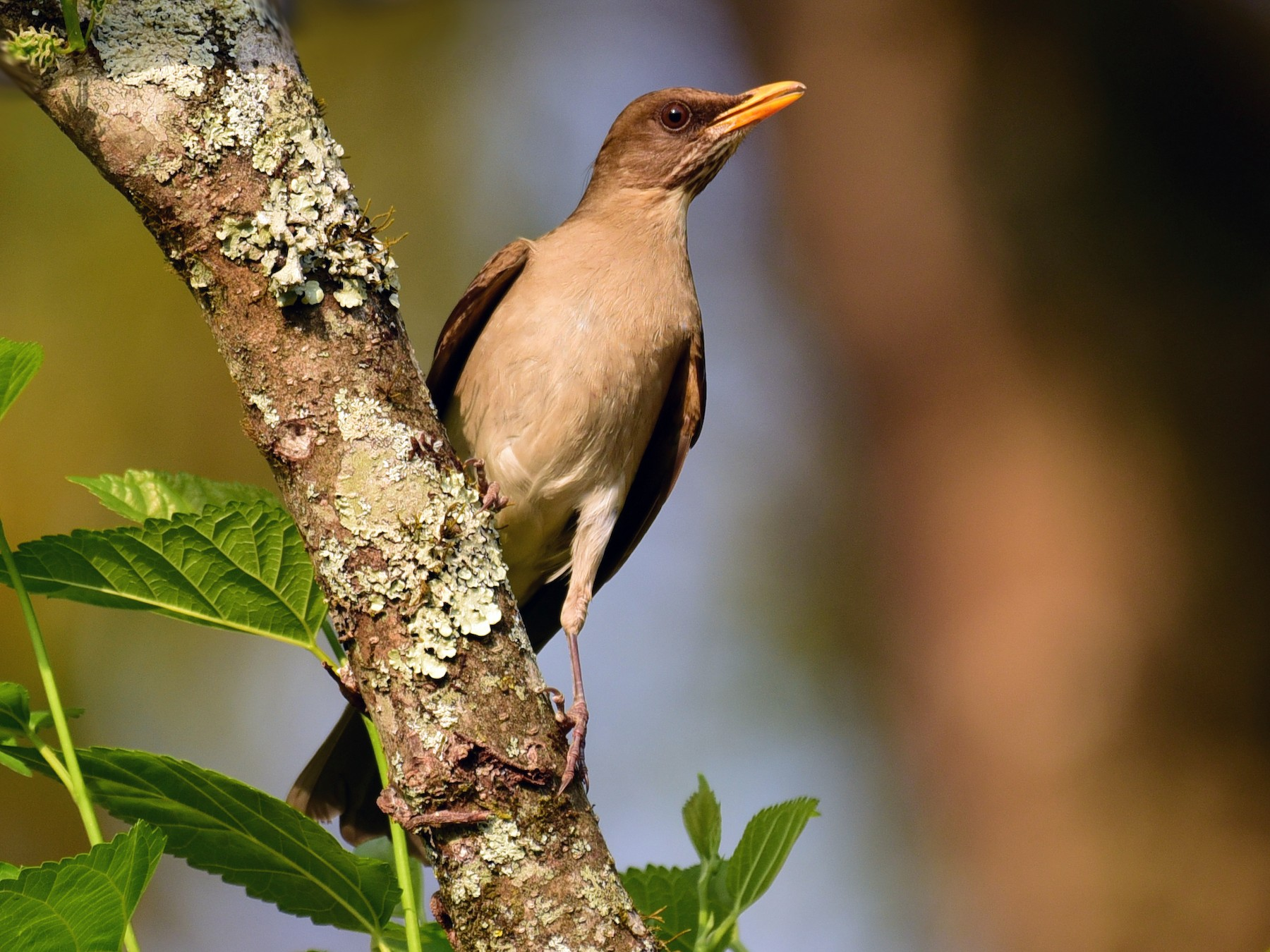 Creamy-bellied Thrush - Luiz Moschini