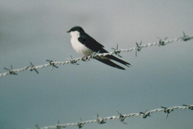 Bahama Swallow