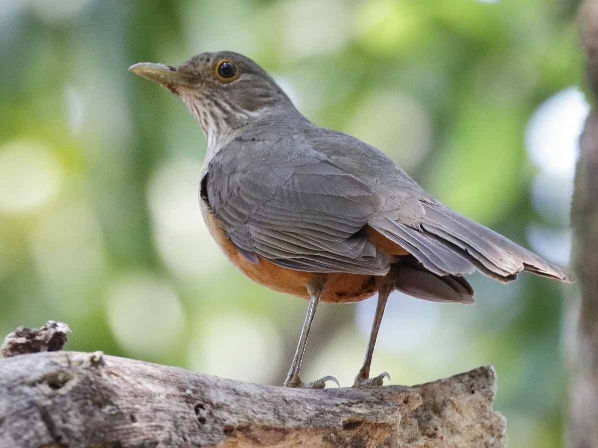 Rufous-bellied Thrush - Dave Curtis